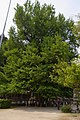筒賀の大銀杏 Big Ginkgo - panoramio.jpg