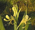 粉美人蕉 Canna glauca -泰國清邁花展 Royal Flora Ratchaphruek, Thailand- (9213320547).jpg