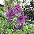 紫毛蕊花 Verbascum phoeniceum -巴黎植物園 Jardin des Plantes, Paris- (9200928212).jpg