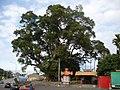 縣道139母女樟樹2.JPG