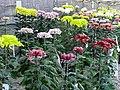 菊展 Chrysanthemum Exhibition - panoramio.jpg