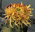 菊花-天河洗馬 Chrysanthemum morifolium 'Milky Way Horse Washing' -中山小欖菊花會 Xiaolan Chrysanthemum Show, China- (11961616374).jpg