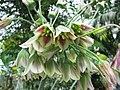 蔥屬 Allium nectaroscordum v siculum -荷蘭園藝展 Venlo Floriade, Holland- (9219878217).jpg