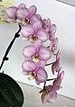 蝴蝶蘭 Phalaenopsis Motegi Charlotte -台南國際蘭展 Taiwan International Orchid Show- (39129454410).jpg