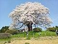 醍醐桜.jpg