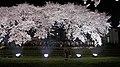 野川の桜 ライトアップ 2012.04.10 20-45 - panoramio.jpg