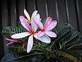 鈍葉雞蛋花 Plumeria obtusa 'Dwarf Singapore Pink' -新加坡濱海灣花園 Gardens by the Bay, Singapore- (24952924411).jpg