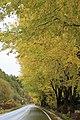 黄色の並木 - panoramio.jpg