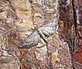 -1840- Shaded Pug (Eupithecia subumbrata) (43193910504).jpg