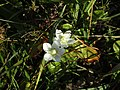 -2018-09-29 The flower of the Grass-of-Parnassus (Parnassia palustris), Southrepps common (2).JPG
