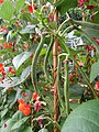 -2019-07-19 Runner bean plants with young beans (Phaseolus coccineus), Trimingham, Norfolk (2).JPG