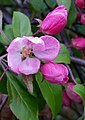 -365 crab apple blossom (25715755253).jpg