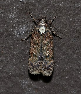 <i>Chionodes obscurusella</i> Species of moth