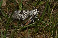 - 8146 – Hypercompe scribonia – Giant Leopard Moth (27189176823).jpg