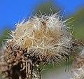 00 0798 Samen einer Distelpflanze.jpg