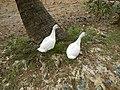 0328jfLands Culianin Ducklings Plaridel Bulacan Cattle Fieldsfvf 23.JPG