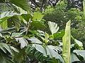 04224jfSanto Rosario La Purisima Artocarpus altilis Aliaga Nueva Ecijafvf 26.JPG