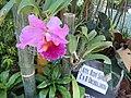 05593jfMidyear Orchid Exhibits Quezon Cityfvf 17.JPG