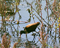 060328 wattled jacana CN - Flickr - Lip Kee.jpg