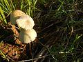 06229jfWild mushrooms of the Philippines Unidentified Agaricaceae San Rafael Bulacanfvf 25.jpg