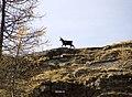 06 Camoscio, Vallone delle Cime Bianche.jpg