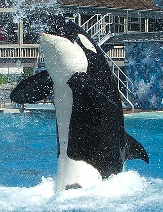Captive killer whales - Orca show at Sea World San Diego