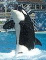 0703 SD orca squirt.jpg