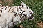 08-2011. Panthera tigris tigris - Texas Park - Lanzarote -TP00.jpg