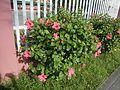 0931jfHibiscus rosa sinensis Linn White Pinkfvf 04.jpg