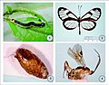 1-Host-caterpillar-of-Meteorus-rugonasus-Pteronymia-zerlina-Hewitson-1855-Lepidoptera-Nymphalidae-Ithomiinae-on-leaves-o.jpg