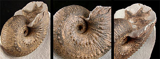 Evolution of cephalopods - An ammonitic ammonoid with the body chamber missing, showing the septal surface (especially at right) with its undulating lobes and saddles.