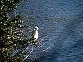 14 Egrets Beaufort SC 6396 (12367855044).jpg