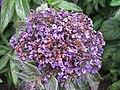1823 - Salzburg - Mirabellgarten - Flowers.JPG
