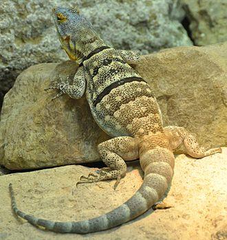 Baja blue rock lizard - Image: 2009 petrosaurus thalassinus
