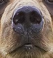 2010-kodiak-bear-1 (Snout).jpg