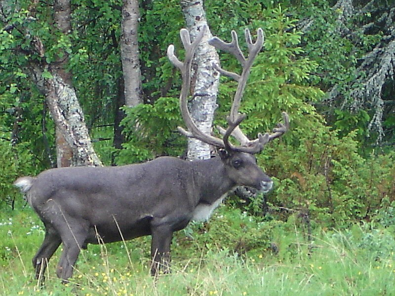 2010 Finland Pallastunturi Rangifer tarandus