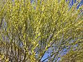 2013-04-18 15 20 36 Willow leafing out in Elko, Nevada.JPG