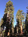 2013-09-20 09 23 55 Giant Sequoias in Grant Grove.JPG