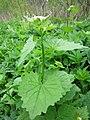 20130501Alliaria petiolata2.jpg