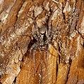 2014.09.20.-12-Kaefertaler Wald-Mannheim--Wolfspinne-Xerolycosa nemoralis-Weibchen.jpg