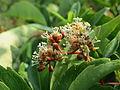 20140725Parthenocissus quinquefolia4.jpg