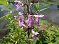 20140816Stachys palustris2.jpg