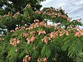 2015-06-13 16 14 39 Mimosa leaves and flowers along Old Ox Road (Virginia State Secondary Route 606) in Sterling, Virginia.jpg