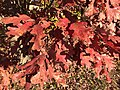 2015-11-08 15 20 16 White Oak foliage during autumn along West Ox Road (Virginia State Secondary Route 608) in Oak Hill, Fairfax County, Virginia.jpg