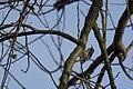 20151122 033 weerdbemden Boomkruiper, Short-toed Treecreeper, Gartenbaumläufer, Certhia brachydactyla (22579662104).jpg