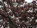 2016-04-22 13 02 54 'Kanzan' Japanese Cherry flowers along Dairy Lou Drive at White Barn Lane in the Franklin Farm section of Oak Hill, Fairfax County, Virginia.jpg