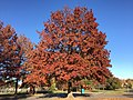 2016-11-12 15 22 54 Pin Oak displaying autumn foliage in Franklin Farm Park in the Franklin Farm section of Oak Hill, Fairfax County, Virginia.jpg