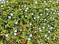 2017-03-28 15 22 40 Persian Speedwell along Tranquility Court in the Franklin Farm section of Oak Hill, Fairfax County, Virginia.jpg