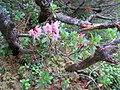 2017-07-22 (15) Rhododendron hirsutum (Hairy Alpenrose) at Dürrenstein (Ybbstaler Alpen).jpg