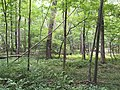 2017-08-10 16 30 29 Forest along the Gerry Connolly Cross County Trail between Twin Branches Road and the Washington and Old Dominion Trail in Reston, Fairfax County, Virginia.jpg